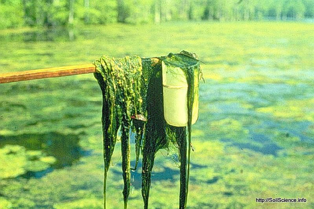 Whether in a farm pond like this, or the Gulf of Mexico, algae blooms stimulated by wasted fertilizer are deadly to marine life. Fortunately, or unfortunately, we're running out of fertilizer.