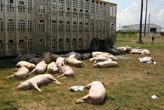 Pigs resting comfortably in a farm field after being transported according to industry standards. If you looked at this picture, you may have committed a crime (Big Ag may make the animal-porn legislation retrooactive). (Photo by CALM Action/Flickr)