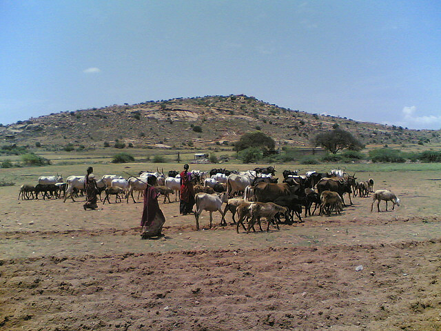 The tragedy of the commons is that herdsmen will overgraze a common pasture unless constrained. The same, it seems, applies to water. (Photo by Srinivasa Krishna/Flickr)