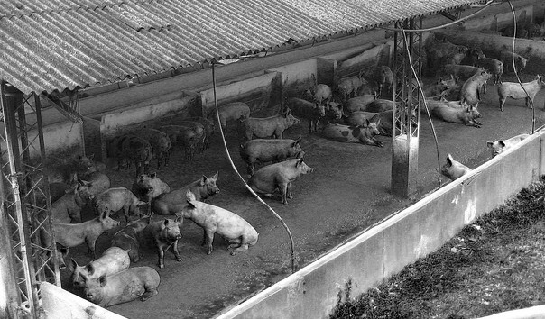 Confined, crowded and stressed meat animals like these pigs are given 29 million pounds of antibiotics every year in the US, 80 per cent of the available supply, to make sure they grow. As a result, the seven million pounds administered to humans are becoming less effective.  (Photo by Victor Sounds/Flickr)