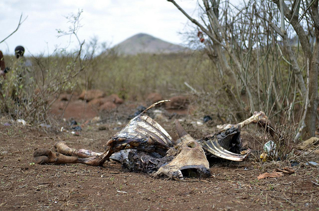 A cow's carcass in Northern Kenya, photographed last week, testifies to the reality of what happens when the water runs out. And it is running out. (Photo courtesy CIAT The International Center for Tropical Agriculture/Flickr)