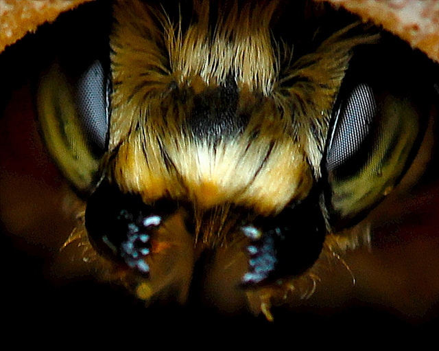 To be a bee, or not to be a bee, that is the question when the colony is about to collapse. (Photo by Doug88888.Flickr)