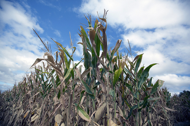 Drought-stricken corn under a hot and rainless Iowa sky last week. Two more studies say, things are going to get worse. (Photo by USDA)