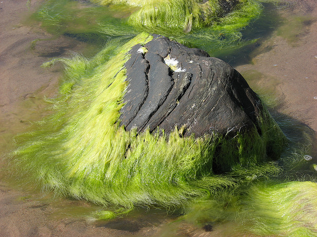 Algae -- the rising tide that poisons all boats.  (Photo by gorize/Flickr)
