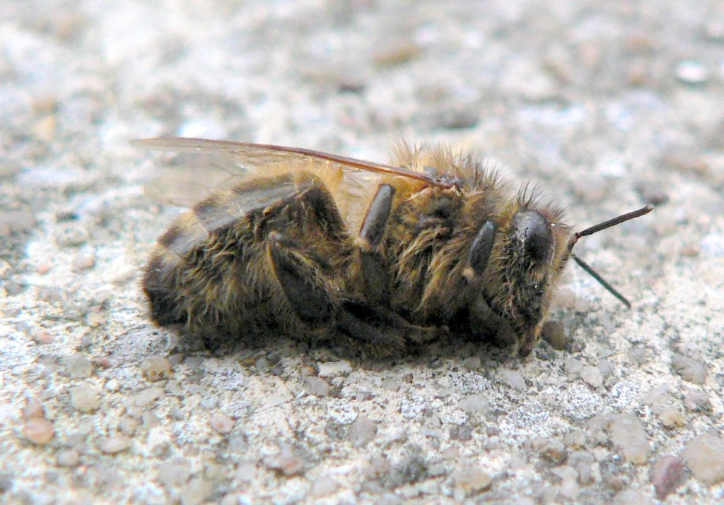 Dead_bee_winter