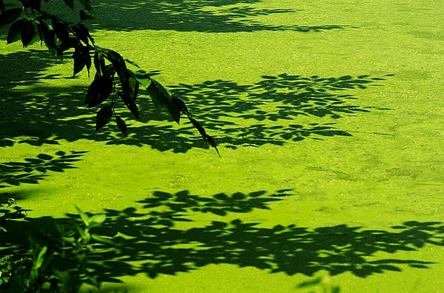 Just when you think it's safe to go near the water, you start feeling dizzy. Thanks, algae. (Photo by Dave Shefer/Flickr)
