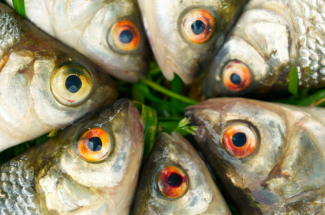 The fish held a meeting, and decided to spread the alarm, but it was too late. They were all dead. (Photo by James Palinsad/Flickr)