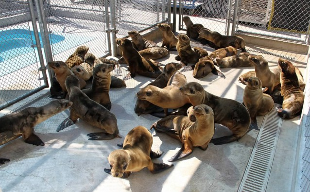 A passel of starving sea lions, rescued from the beach by volunteers, in a California rehab center. They get a lot of attention because they're cute. But crabs, oysters and anchovies are dying just as fast.